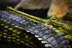 Portrait of Indian Gharial, Gavialis gangeticus, mouth with many tooth, India Royalty Free Stock Images