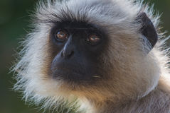 Portrait of an Indian Langoor Royalty Free Stock Photos
