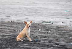Portrait of an Indian Pariah Dog sitting on a Beach... Royalty Free Stock Photo