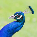 Portrait of an Indian peafowl Stock Photos