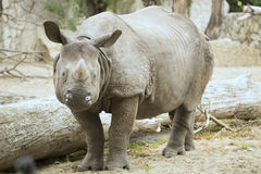 Portrait Indian rhinoceros, Rhinoceros unicornis Stock Photo