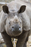 Portrait Indian rhinoceros, Rhinoceros unicornis Stock Image