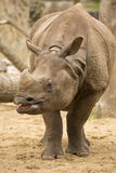 Portrait Indian rhinoceros, Rhinoceros unicornis Royalty Free Stock Photos