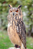 Portrait of an indian rock  eagle-owl Bubo bengalensis Royalty Free Stock Photos