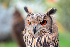 Portrait of an indian rock eagle-owl Royalty Free Stock Image