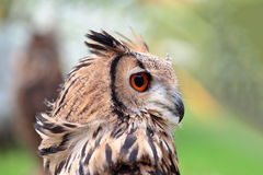 Portrait of an indian rock eagle-owl Stock Photo