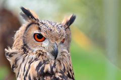 Portrait of an indian rock eagle-owl Stock Image
