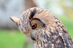 Portrait of an indian rock eagle-owl Stock Images