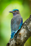 Portrait of Indian roller Royalty Free Stock Photos