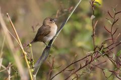 Portrait of Indian Silverbill Sitting on a Branch Looking at Camera. The Indian silverbill or white-throated munia Euodice malabarica is a small passerine bird Stock Image