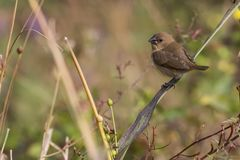 Portrait of Indian Silverbill Sitting on a Branch Looking at Camera Royalty Free Stock Photos