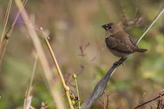 Portrait of Indian Silverbill Sitting on a Branch Stock Photography