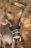 Portrait of an Indian zebu Stock Photo