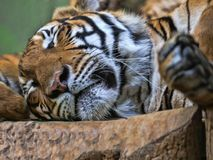 Portrait of Indochinese tiger, Panthera tigris corbetti, sleeping animal. The Portrait of Indochinese tiger, Panthera tigris corbetti, sleeping animal Royalty Free Stock Photography