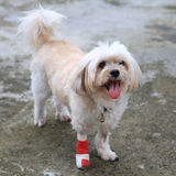 Portrait of Injured Shih Tzu wrapped by red bandage stock photography