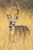 Portrait of an injured whitetail rack Royalty Free Stock Photos