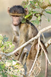 Portrait of an intense baby baboon Stock Photos
