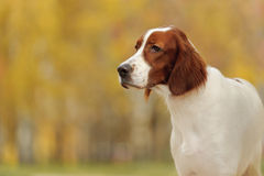 Portrait irish red and white setter Royalty Free Stock Photography