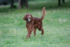 Portrait of Irish setter dog. Selective focus Stock Photo