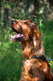 Portrait of an Irish setter. On a walk in the park royalty free stock images