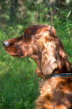 Portrait of an Irish setter. On a walk in the park stock photography