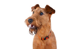 Portrait of Irish Terrier closeup on white background. The portrait of Irish Terrier closeup on white background stock photography