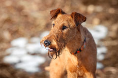 The portrait of Irish Terrier in spring. Portrait of a young Irish Terrier in spring royalty free stock images