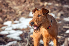 The portrait of Irish Terrier in spring. Portrait of a young Irish Terrier in spring stock images