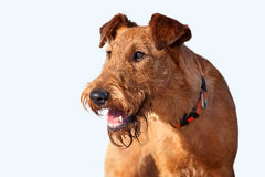 The portrait of Irish Terrier on white background. Portrait of a young Irish Terrier on white background stock image