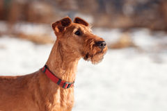 The portrait of Irish Terrier in winter on snow background. Portrait of Irish Terrier in winter on snow background royalty free stock images