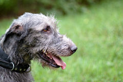 Portrait of irish wolfhound Stock Images