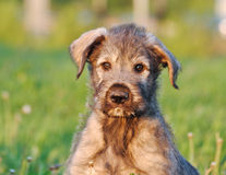 Portrait of Irish Wolfhound Puppy Stock Photo
