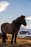 Portrait islandais de cheval au coucher du soleil Photos libres de droits