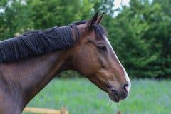 Portrait of isolated bay horse Stock Photo