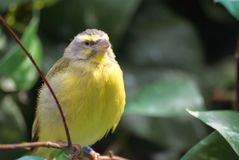 Closeup image of isolated Citril finch