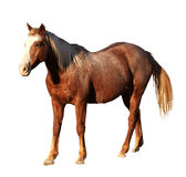 Portrait Isolated Picture of Large Horse Standing Stock Photo