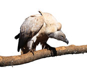 Portrait Isolated Picture of Large Vulture on Branch Stock Image
