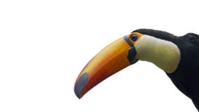 Portrait of a isolated toucan Stock Photos