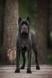 The portrait of Italian cane-corso dog Stock Image