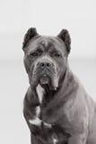 The portrait of Italian cane-corso dog Stock Photography