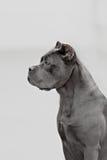The portrait of Italian cane-corso dog Royalty Free Stock Photos