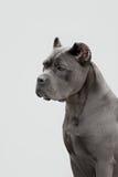 The portrait of Italian cane-corso dog Royalty Free Stock Photography