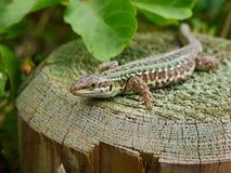 Portrait of an italian wall  lizard  resting on a cut trunk Royalty Free Stock Photo