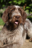 Portrait of Italian Wire-haired Pointing Dog Royalty Free Stock Photo