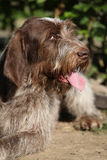 Portrait of Italian Wire-haired Pointing Dog Stock Photo