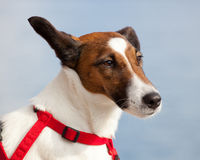 Portrait of a Jack Russel dog Stock Photos