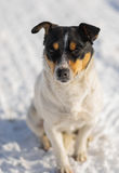 Portrait of Jack Russel terrier mix sitting on a snow Royalty Free Stock Photo