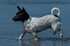 Portrait of Jack russel in the water. Portrait of Jack russel terrier in the water on summer Royalty Free Stock Photos