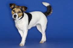 Portrait Of A Jack Russell Royalty Free Stock Image