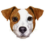 Portrait of Jack Russell. Stock Photos